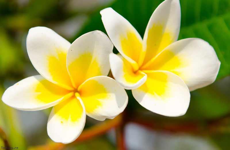 fleur-de-tiare-bienfait-monoi-thaiti-