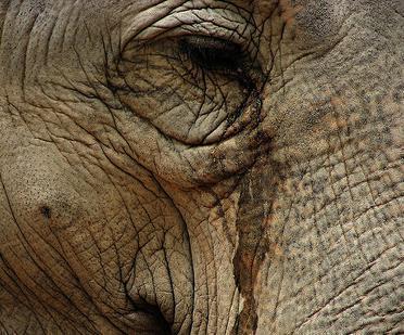 Raju,l'elefante che piange di gioia dopo essere stato liberato dalle catene dopo 50 anni.