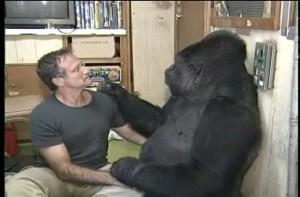 gorilla koko e robin
