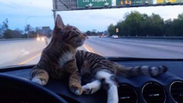 La storia del gatto che viaggia sul cruscotto